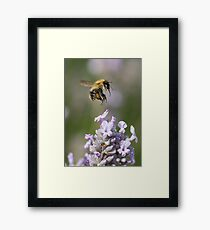 Bumble bee taking off from Lavender Framed Print