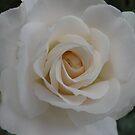 Creamy Dream by pat oubridge