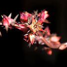 (Possibly) a Sedum plant's flowers.  by geof