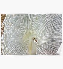 Albino Peacock Poster