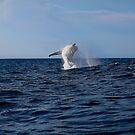 Breaching whale by wayne51