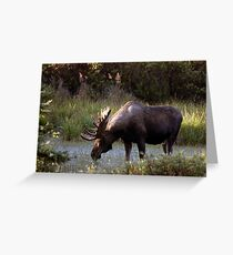 Bull Moose - 11646 Greeting Card