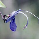 Blue Butterfly Bush by Linda Lees