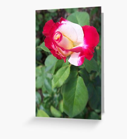 A Rose is a Rose 1 Greeting Card