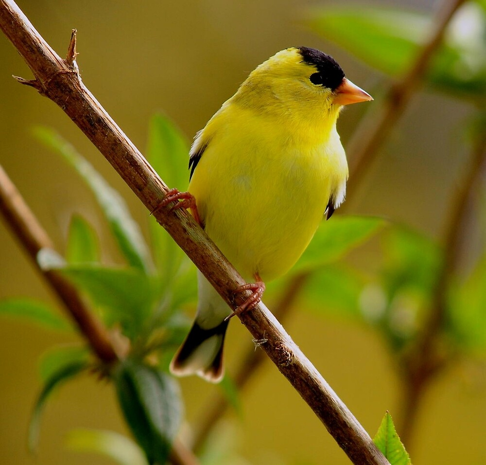 I MADE A SALE TODAY....AMERICAN GOLDFINCH by RoseMarie747