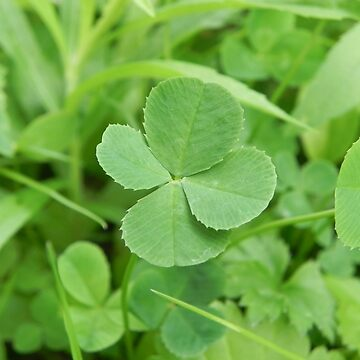 The Lucky 4 Leaf Clover by MarthaMedford