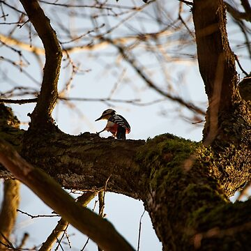 """""""Great Spotted Woodpecker in search of food"""" by AndreasKoerner"""