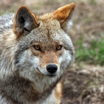 Coyote by johnny55