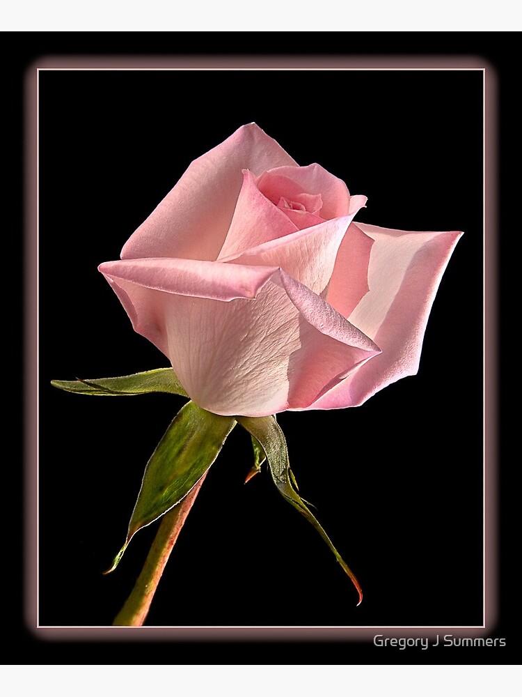 This Pink Rose Dances by nikongreg