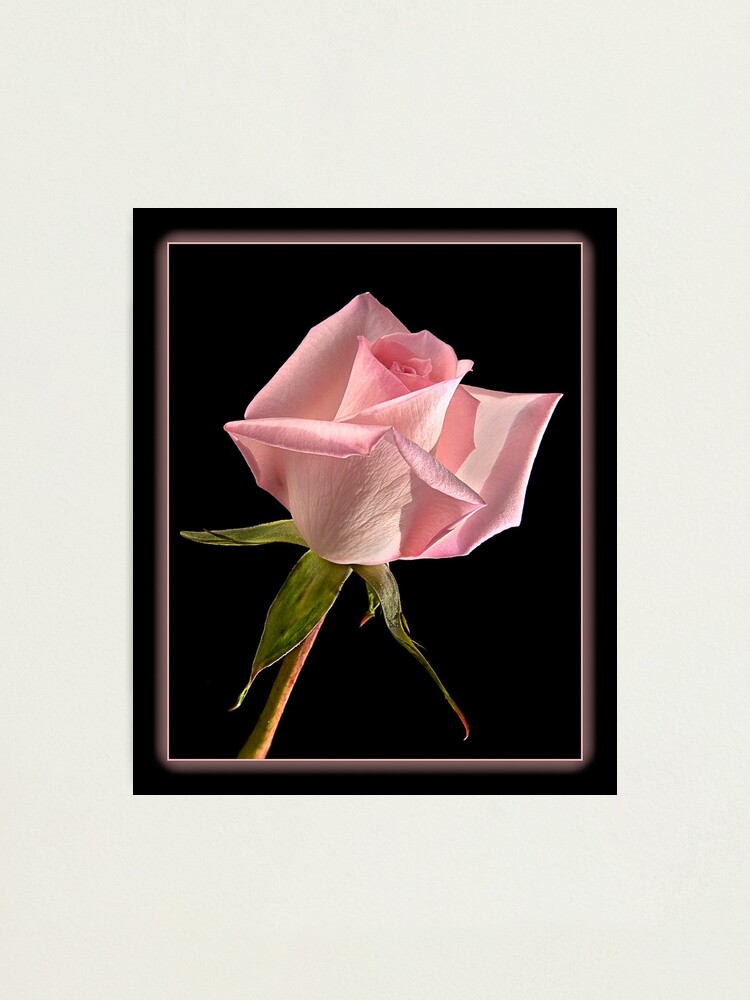 Alternate view of This Pink Rose Dances Photographic Print