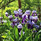 Irises in Our Garden in Romania by Dennis Melling