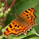 Berries and Comma Butterfly by kernuak