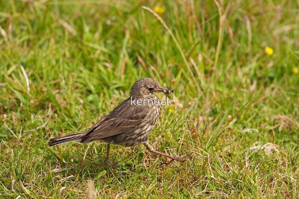 Meadow Pipit Stroll by kernuak