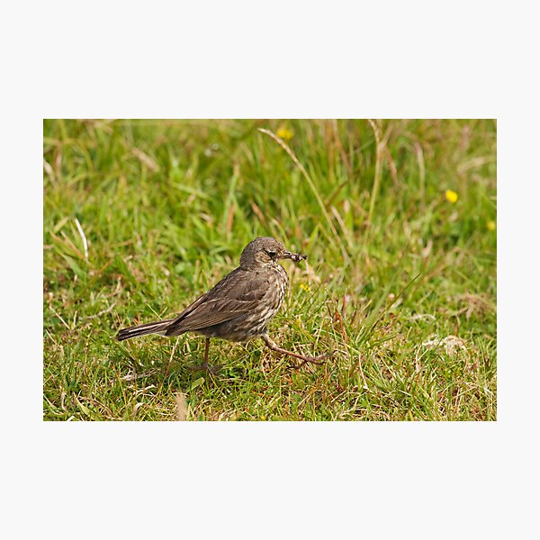 Meadow Pipit Stroll Photographic Print