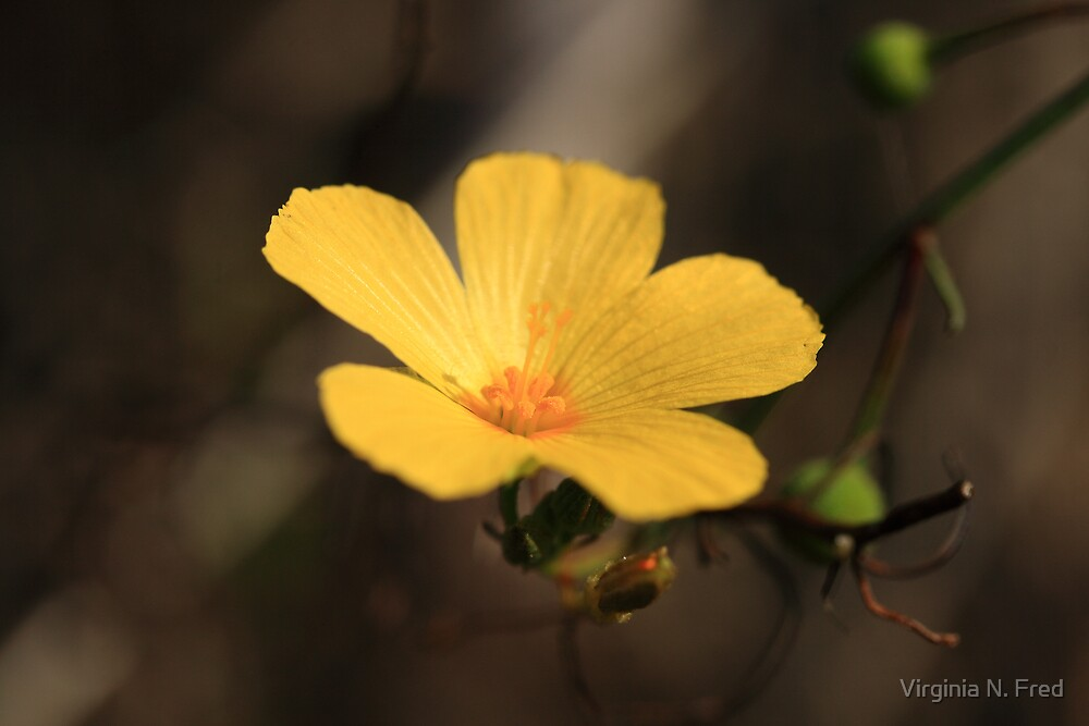 Little Buttercup by Virginia N. Fred