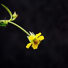 Little Yellow Flower  by Photography  by Mathilde