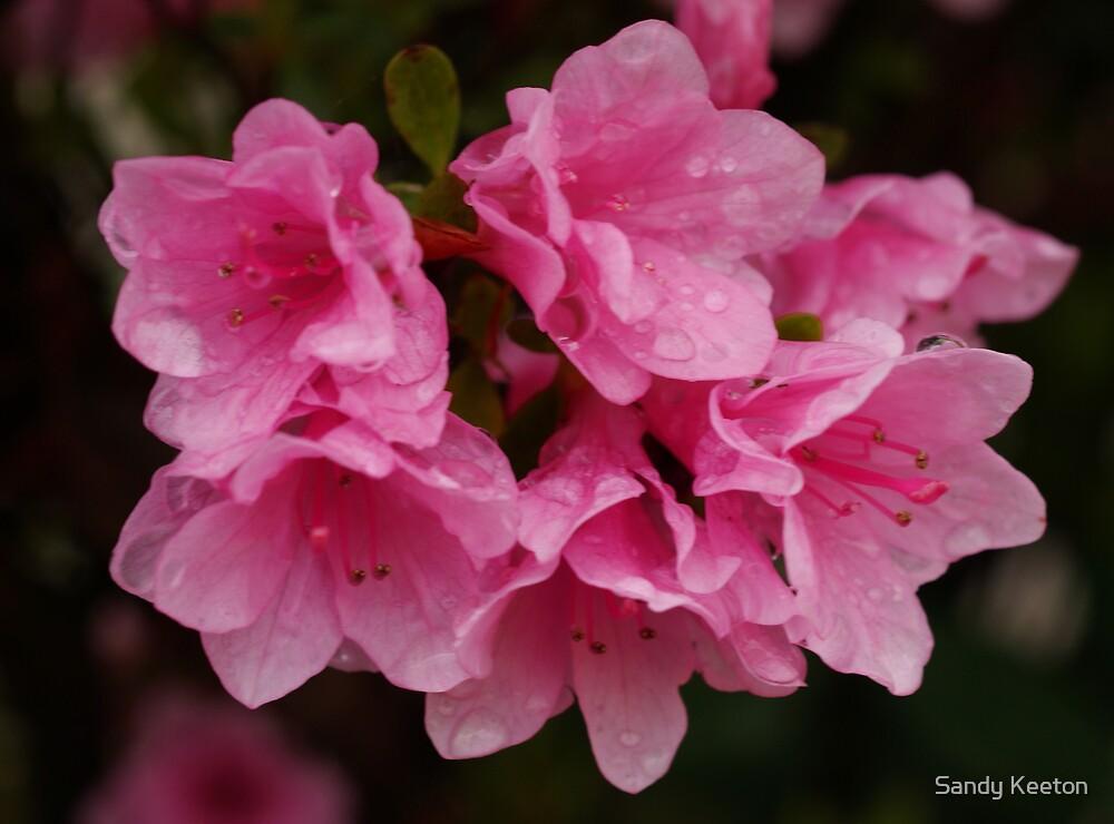 Pink Azaleas by Sandy Keeton