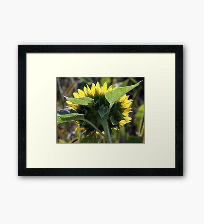 From Behind A Sunflower Framed Print