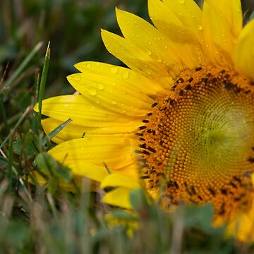 A Bit of Yellow Sunflower by LESLIEDYESIGN