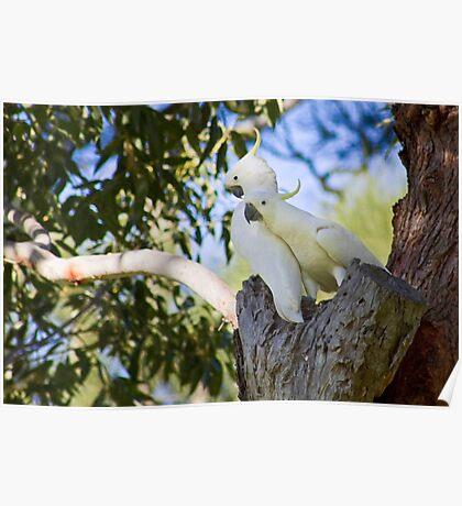 Sulfur-Crested Cockatoos - Sydney - Australia Poster