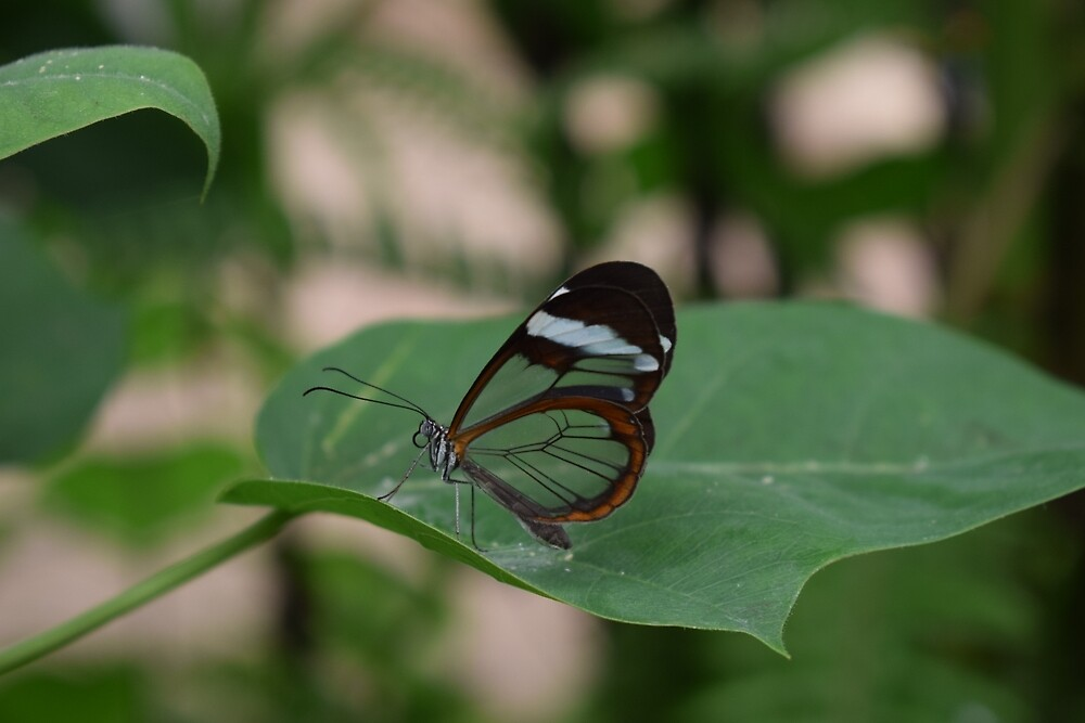 Transparent butterfly by alvaros