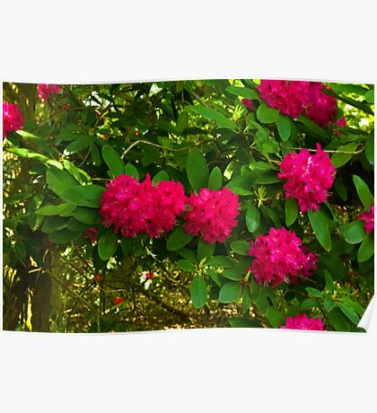 Rhododendrons Poster