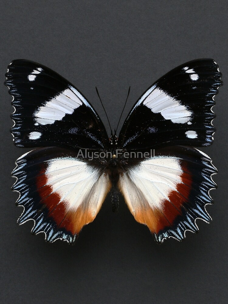 Madagascan Diadem Butterfly by AlysonFennell