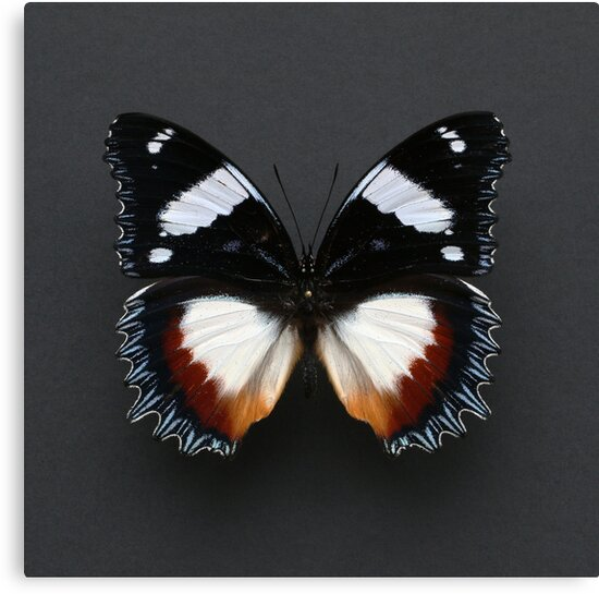 Madagascan Diadem Butterfly by Alyson Fennell