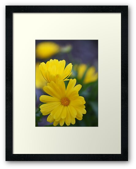Yellow through and through - 'Gazoo' Gazanias by imaginethis