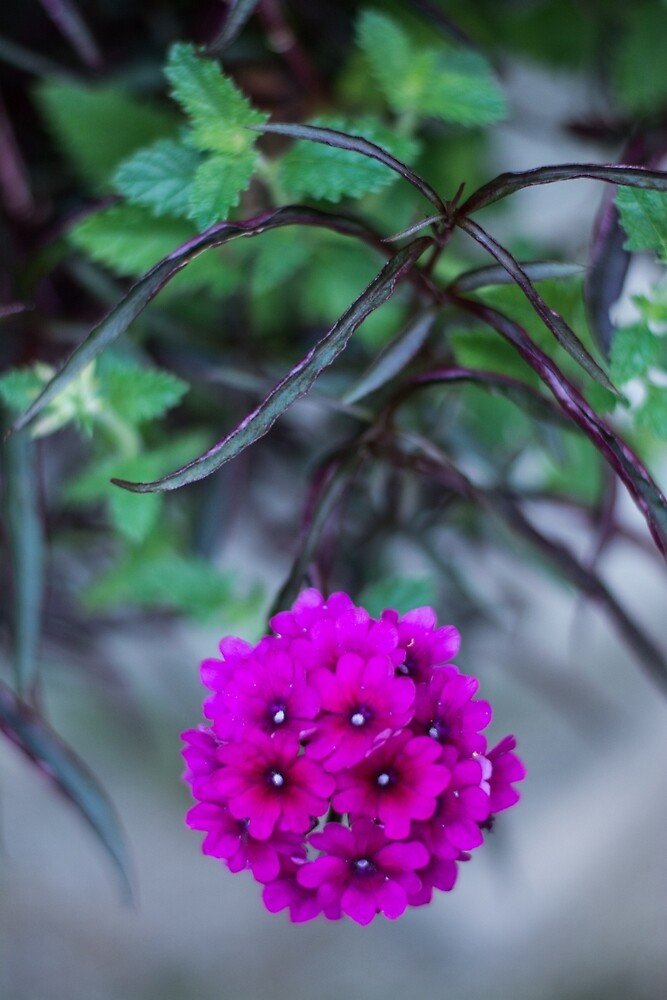 Pink Flower Cluster by abhakat