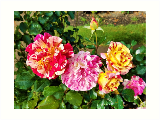 Mixed Color Roses by phantastique