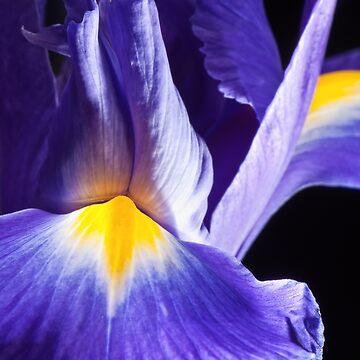 Iris by Julian-Holtom