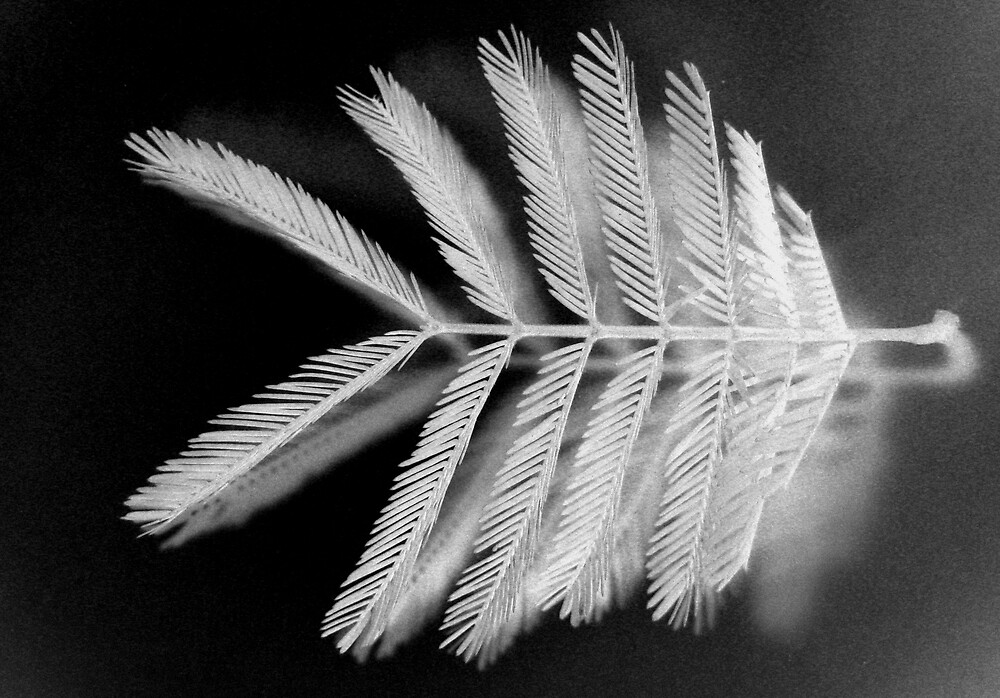 acacia mearnsii black wattle 6 by graphicbotanic