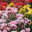 Rose Garden by Martina Fagan