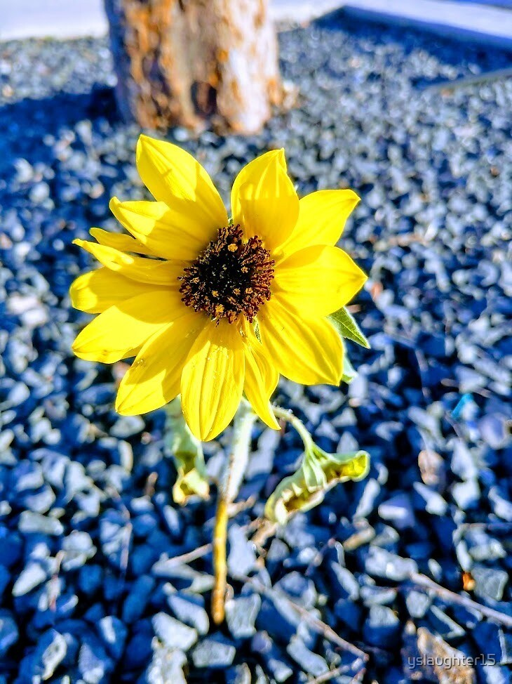 Lone lil' sunflower by Yeva Slaughter