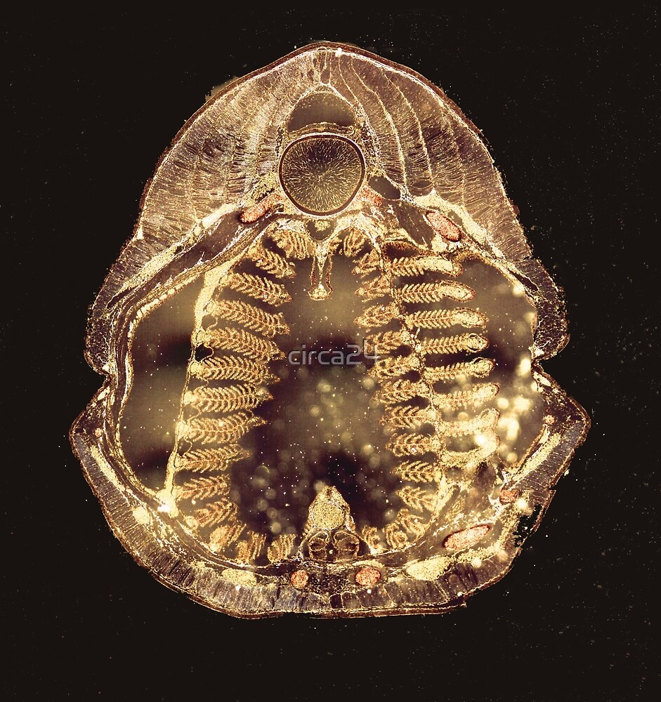 Lamprey Larva- Cross Section by circa24