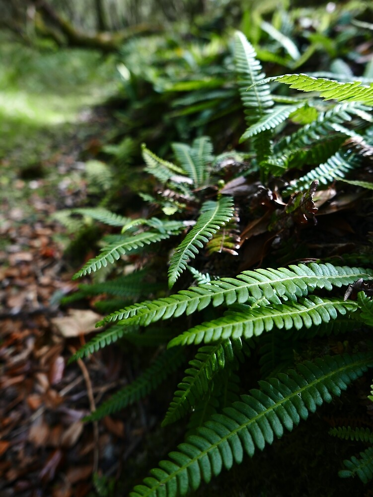 Hard Fern (Blechnum spicant) by IOMWildFlowers