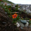 Scarlet Pimpernel (Anagallis arvensis) by IOMWildFlowers