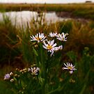 Sea Aster (Tripolium pannonicum) by IOMWildFlowers