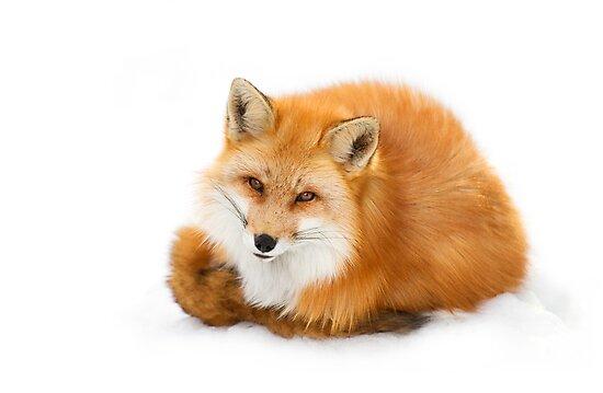 Red fox, Algonquin Park Canada by Jim Cumming