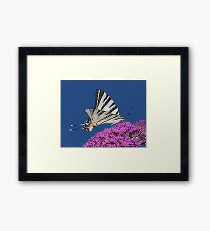 Scarce Swallowtail Butterfly Framed Print