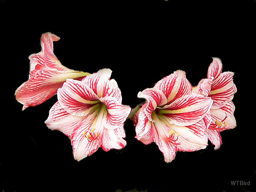 Peppermint Daylilies by WTBird