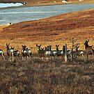 Is She a Mule Deer? by Donna Ridgway