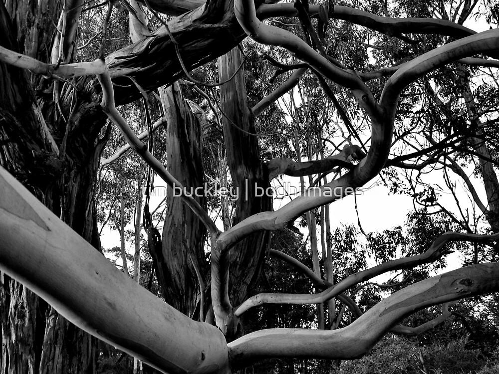 gum tree, sunrise. d'entrecasteaux, tasmania by tim buckley   bodhiimages