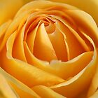The Lemon Squeezer Rose by Joy Watson