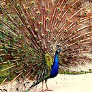 Peacock, photograph by Vic Potter by Vic Potter