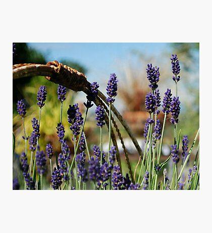 Lavender Dreams Photographic Print