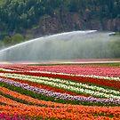 Tulip Fields by Michael Garson