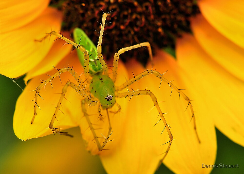 Green Lynx Spider 2 by Dennis Stewart