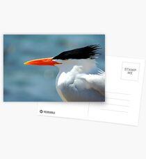 Elegant Tern Postcards